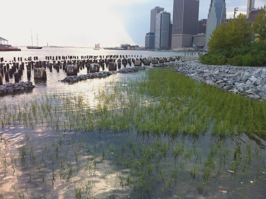 Living Shoreline In Brooklyn Bridge Park